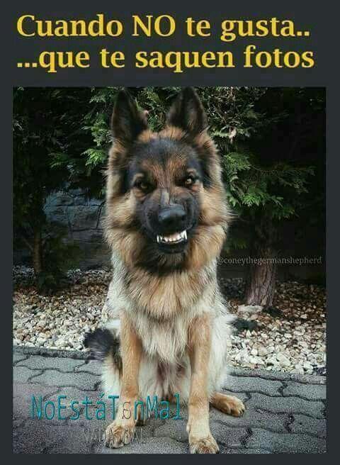 Pin De Marilyn En Funny Dogs Perros Pastor Aleman Memes Perros Perros Bonitos