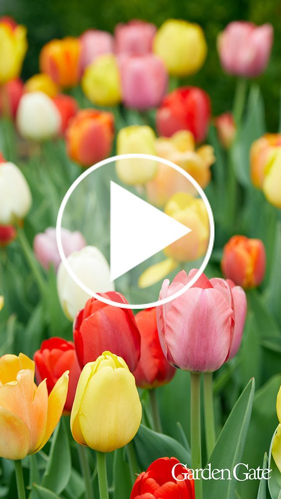 How To Make Tulips Last Longer Every Spring Fall Plants Tulips Red Tulips