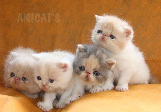 Raças de Gatos mais procuradas:Persa, BENGAL, Maine Coon, Ragdoll, Exótico - Canil Amichetti Gatil Amicats Filhotes Cães Gatos Gigantes: