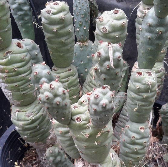 Tephrocactus Articulatus V Strobiliformis Is An Attractive Brown Color Cactus Has Globular Shaped Sections With Mini Plant Cuttings Planting Succulents Cactus