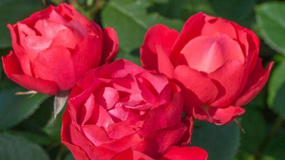 'Cherry Bonica', cette obtention de Meilland International a obtenu le premier prix 2015 de la catégorie «buisson à fleurs groupées».