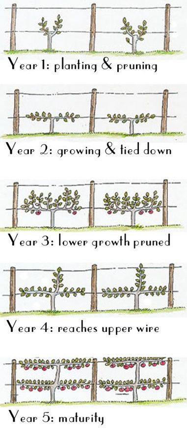 "Espalier time chart: Espalier is a French word that originally meant ""something to rest the shoulder against""; but it now refers to the practice of training woody plants/trees in a shape that makes it easier to get to the fruit and saves much space in the garden.:"