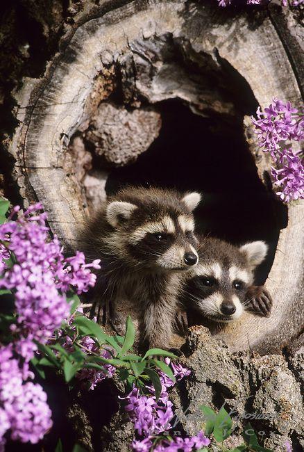 Raccoon in a hollow log near a lilac bush in Montana. Captive Animal