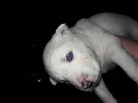Siberian Husky Puppies Pet Dog Puppies For Sale In Dolgeville Ny