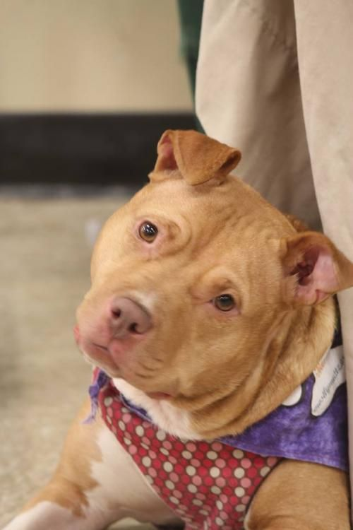 Gloria Needs Foster Is An Adoptable Pit Bull Terrier Searching