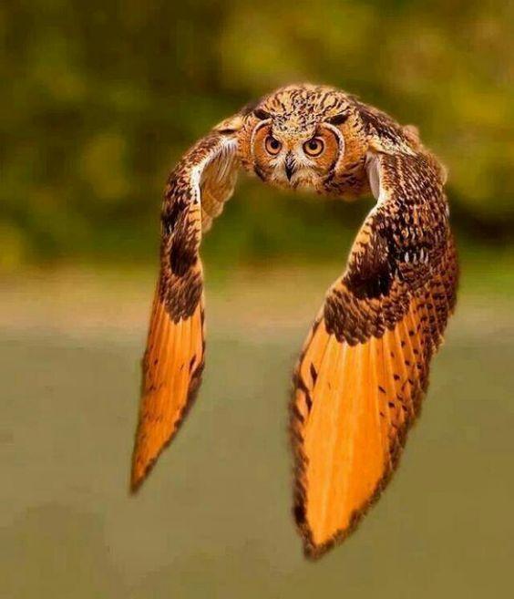 Horned owl | Owls | Pinterest | Owl, Bird and Animal