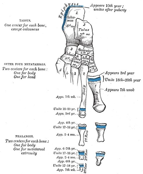 Human development of the bones of the foot with ages of closure of the epiphysial growth plates.