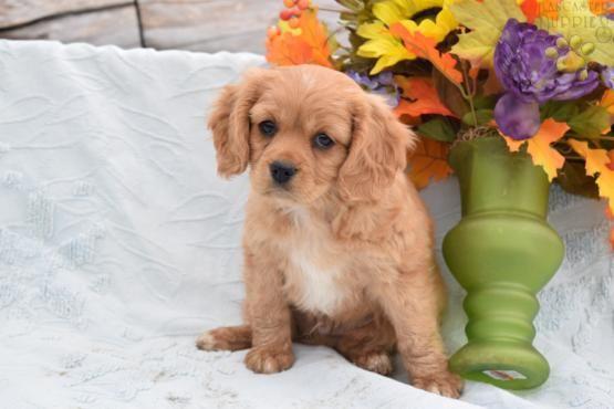 Fudge Cavapoo Puppy For Sale In Geneva Ny Lancaster Puppies Hunde