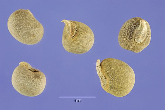 Abelmoschus esculentus_nsh.jpg (600×399)