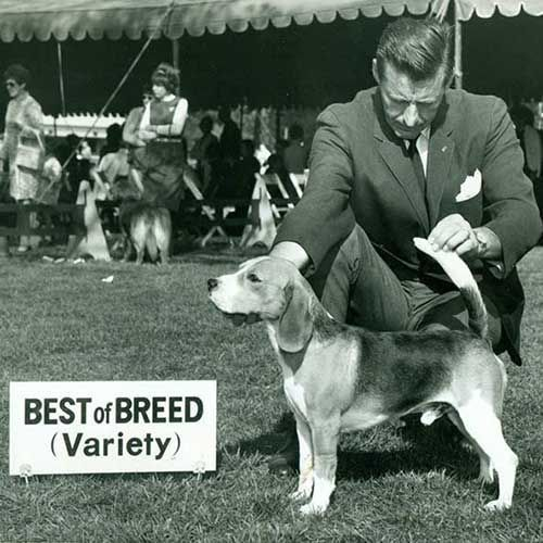 Beagle Beagle Winning Best Of Breed With Handler Behind Right