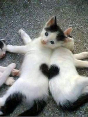 Two kittens make one heart. (KO) Angelic kitties. Don't be fooled! Naughtiness dressed up in furry clothes! Precious though. At times. Mostly naughty.: