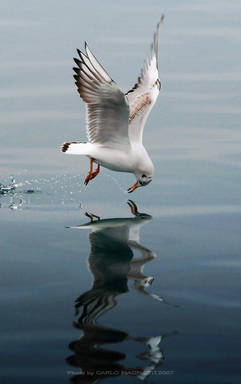 Seagull in flight. - Reflection - from Inspiration: