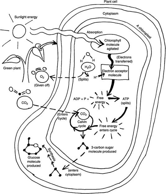 Photosynthesis and Respiration Model Cells – Photosynthesis and Respiration Worksheet