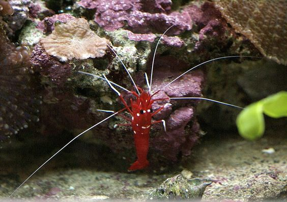 http://faaxaal.forumactif.com/t1971-photos-de-crustaces-crevette-de-feu-lysmata-debelius-fire-shrimp