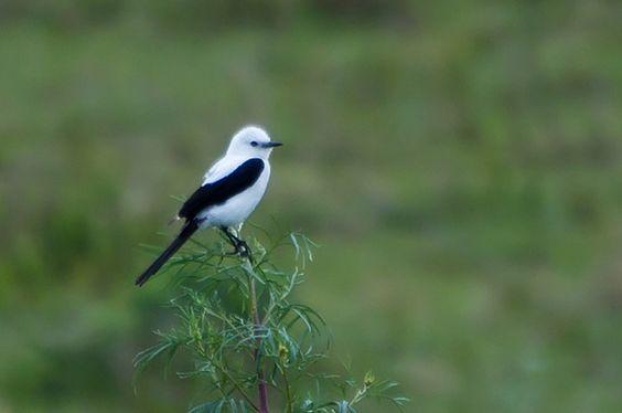 Foto noivinha-de-rabo-preto (Xolmis dominicanus) por Ivan Angelo   Wiki Aves - A Enciclopédia das Aves do Brasil