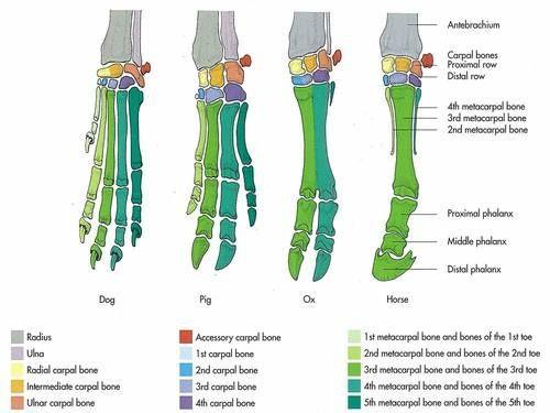 Dog Pig Ox Horse Foot Bones Comparative Anatomy Diagram Dog