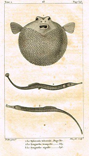 De Lacepede's L'Histoire Naturelle - BLOW FISH - Copper Engraving - 1825