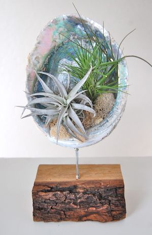 """ABALONE SHELL STAND WITH AIR PLANTS 8""""-9""""shell on wooden stand- $69."""
