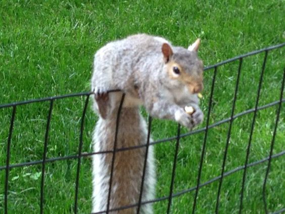 Squirrel in Central Park. Photo taken by Alfred C. Martino in June 2013. #squirrel www.dogparkpublishing.com https://www.facebook.com/DogsCatsOtherCritters