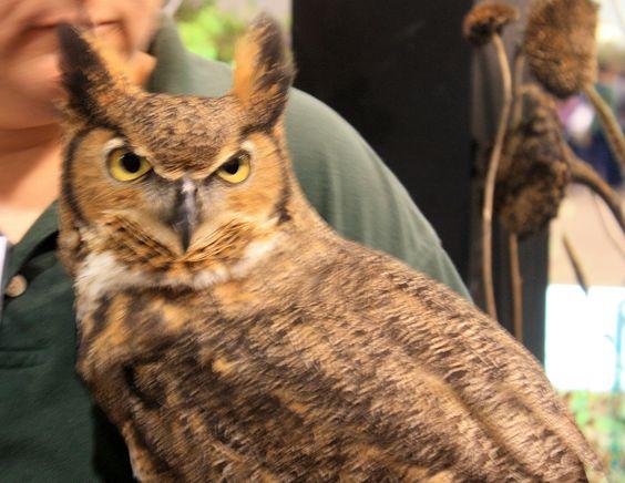 Golden Eyed Owl