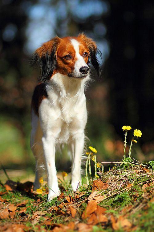 Nederlandse Kooikerhondje Sporting Dogs Breeds Dog Breeds Family Dogs Breeds