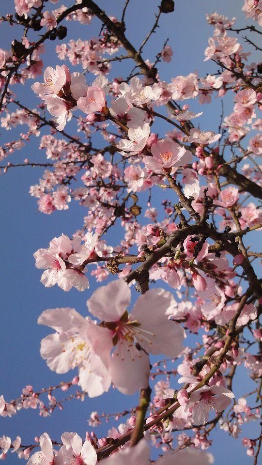 Springtime Spring Pinkblossom Prettypink Blossom Springvibes Flowers Springflowers Na Cherry Blossom Wallpaper Spring Wallpaper Flower Phone Wallpaper