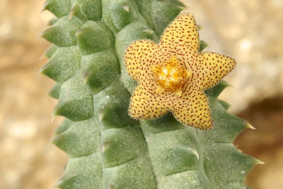 richtersveldia columnaris - gülser