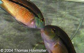 Cichlid Profiles