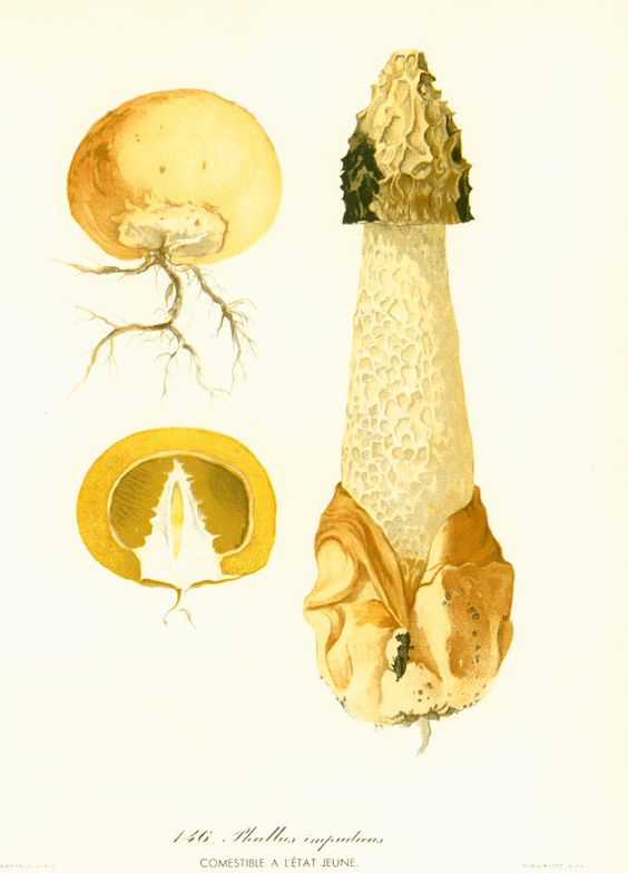 Original print taken from a French 1950' Atlas. Excellent vintage condition. Thick paper. Page size: 22cm x 28.5cm / 8.65 x 11.20 inches.  For more mushrooms prints, please... #mycology #botany #drawings #illustration #stinkhorn