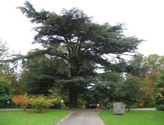 Cedrus atlantica, árvore consagrada a Júpiter, regente de 2014.