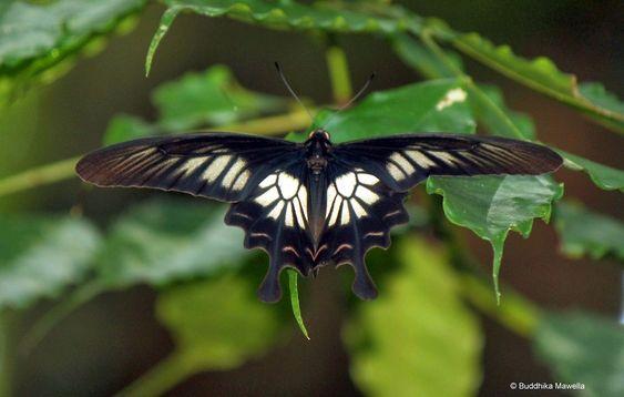 mariposa Ceilán Rose