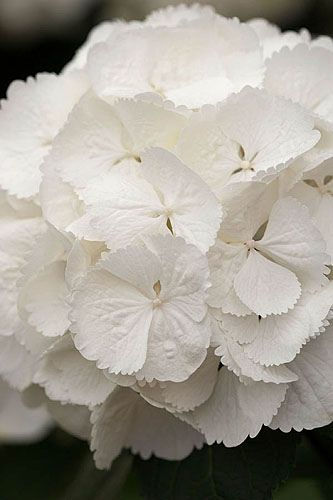 Hydrangea macrophylla 'snowball' I want these!