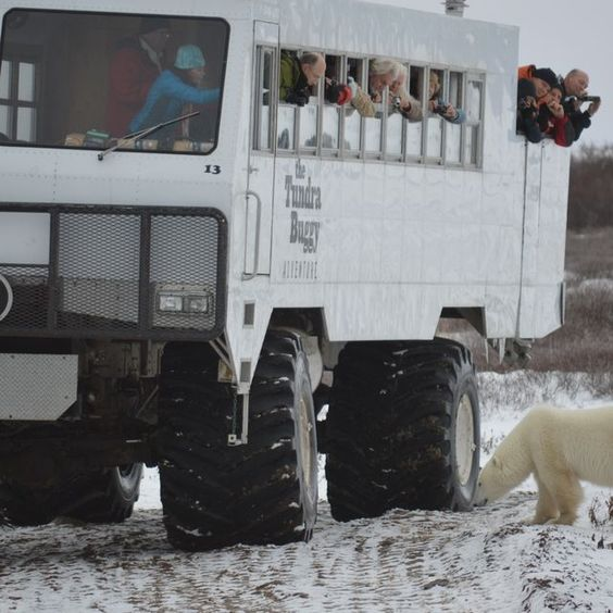 Juliana Goodwin fulfilled a dream in November: seeing polar bears in Canada