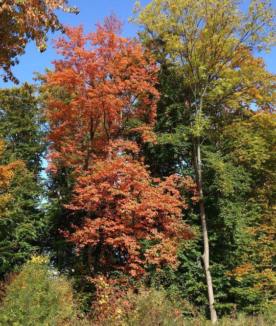 Die Elsbeere (Sorbus torminalis) muss sich hinter ihren Verwandten im Herbst keinesfalls verstecken.