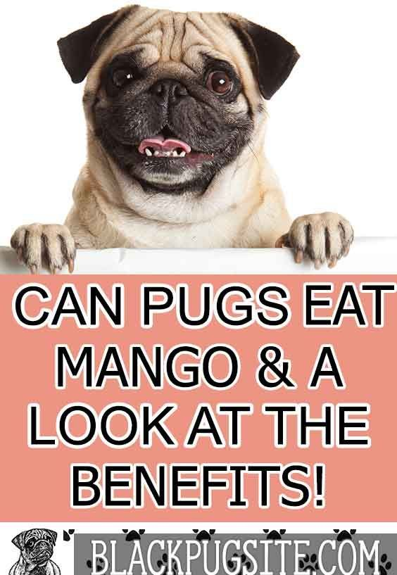 Can Pugs Eat Mango Is Mango Toxic To Pugs Find Out How To Feed