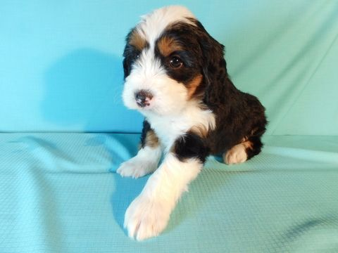 Miniature Bernedoodle Puppy For Sale In Millersburg Oh Adn 71948 On Puppyfinder Com Gender Male Age 5 Weeks Old Bernedoodle Puppy Puppies Bernedoodle