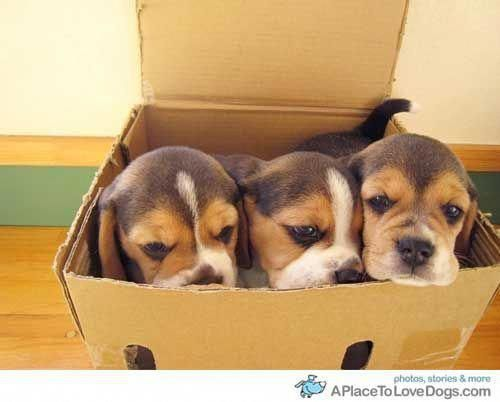 Check Out Our Website For Even More Details On Beagles It Is An Outstanding Location To Read More With Images Beagle Puppy Puppies Cute Beagles