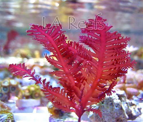 Pinterest the world s catalog of ideas for Red algae in fish tank