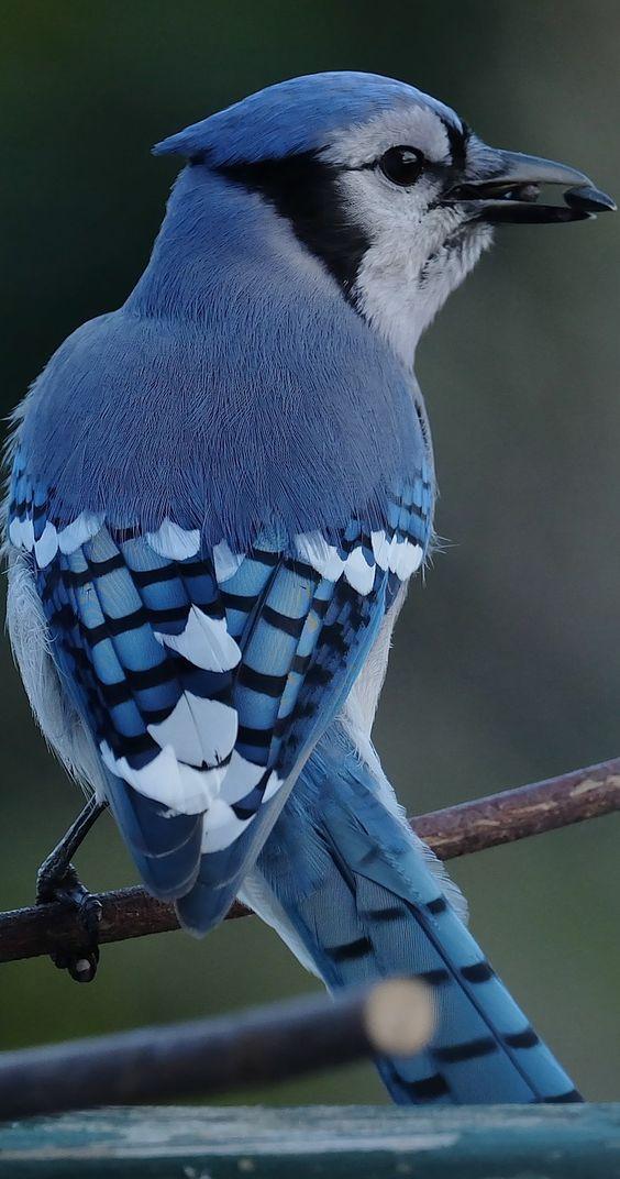 Photo of a blue jay. #Birds #BeautifulBirds #PrettyBirds #BlueJay