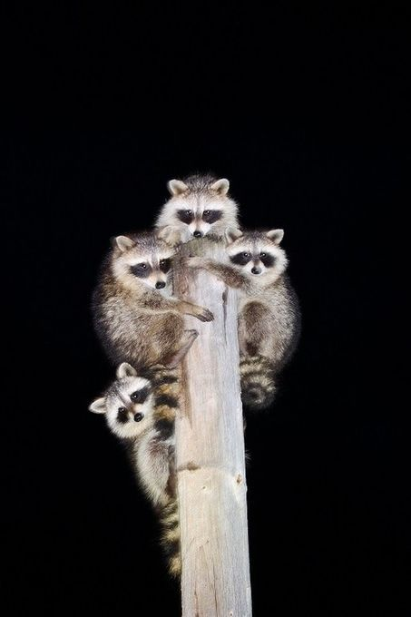 Raccoons donnaharvey_0841