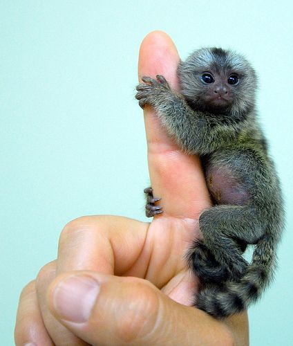 Already the smallest monkey in the world, these baby marmosets are absolutely itty-bitty. i want one