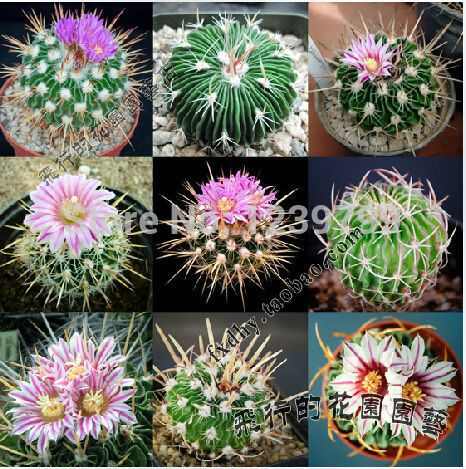 flores cactos suculentas - Pesquisa Google