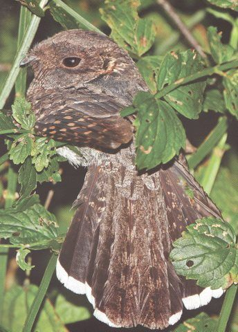 Yucatan Poorwill	(Nyctiphrynus yucatanicus)