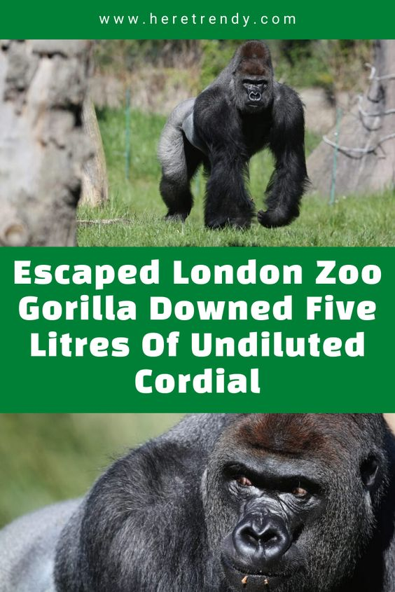 Escaped London Zoo Gorilla Downed Five Litres Of Undiluted Cordial London Zoo Gorilla Zoo