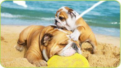 Playful bulldog beach day
