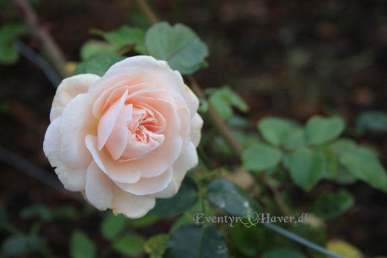 penny lane climbing rose roses 2013 pinterest penny. Black Bedroom Furniture Sets. Home Design Ideas