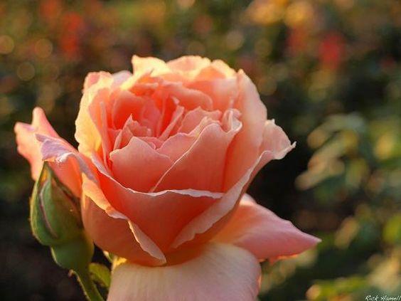 Full hd peach roses hd wallpapers roses flowers - Peach rose wallpaper ...