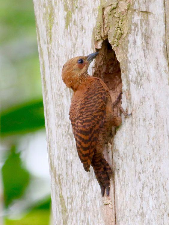 Rufous Woodpecker, male, @ Kranji Marsh, Singapore.