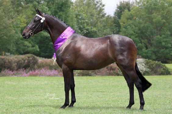 Allessandra Park Padme. Friesian Sporthorse born Jan 2010. Retained for future breeding.