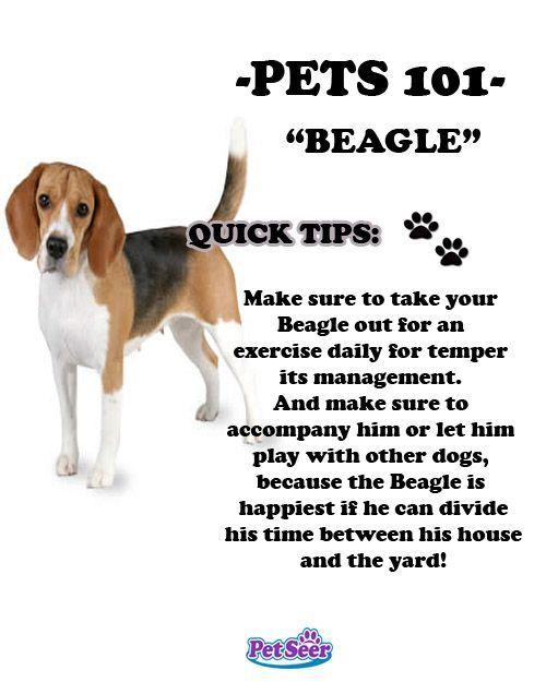 Beagle Beagle Facts Beagle Puppy Facts